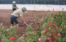 """Người dân Tây Tựu """"méo mặt"""" vì hoa đang nở rộ phải nhổ bỏ để chuyển đổi trồng rau"""