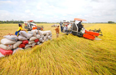 Giá lúa có xu hướng tăng nhẹ