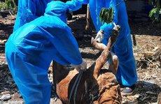 Đắk Lắk: Dịch bệnh hoành hành trên đàn gia súc