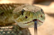 Sự giống nhau kỳ lạ giữa mắc Covid-19 nặng và bị rắn chuông cắn