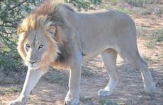 Đi tìm gia súc, 3 học sinh tiểu học Tanzania bị sư tử vồ chết