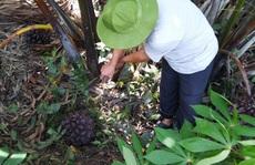 'Mát-xa' cho cây dừa nước để lấy mật