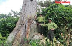 Ngắm 'cụ' lim xanh ngàn năm tuổi duy nhất ở xứ Thanh