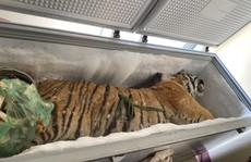 Hà Tĩnh: Phát hiện 1 con hổ đông lạnh trong nhà dân
