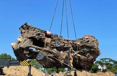 Quảng Ngãi: Cây đa 200 năm tuổi bị ngã đổ được trồng lại ở núi Thiên Bút
