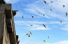 Đau đầu vì chim yến nuôi trong chợ Trà Vinh