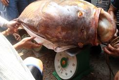 Xẻ thịt cá hô 90 kg ở TP HCM
