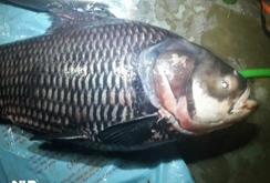 Lại bắt được cá hô khủng nặng 110 kg
