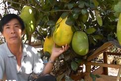 Chanh khổng lồ gần 7 kg ở Đà Lạt
