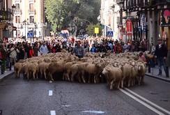 Video: 2.000 con cừu vào thủ đô Madrid để biểu tình