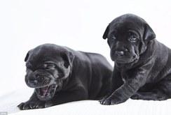 Chó xoáy lưng Phú Quốc sinh sản ở Anh