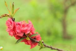 Chiêm ngưỡng hai loại hoa đào đẹp nhất Đà Lạt