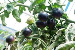 200.000 đồng/kg cà chua đen Đà Lạt