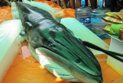 Cá voi dài 3,6 m xuất hiện tại Thanh Hóa