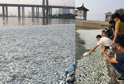 Cá chết trắng sông ở Thiên Tân sau vụ nổ kinh hoàng