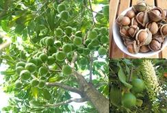 Phát hiện cây mắc ca lớn và lâu đời nhất Việt Nam