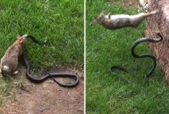 Cảm động video thỏ mẹ tấn công rắn trả thù cho thỏ con