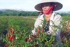 Nông dân Lâm Đồng trúng đậm mùa ớt, hành lá