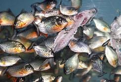 Xem đàn cá ăn thịt nhanh nhất thế giới