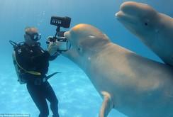 Xem gần 60.000 cá voi trắng di trú trên vịnh Hundson