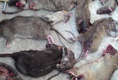 Phóng sự: Ai xử lý xác chuột chết trên đường phố?