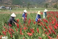 Người dân Đà Lạt khốn đốn vì hoa lay ơn nở sớm trước Tết