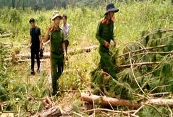 Điều tra doanh nghiệp tự ý chặt phá thông trong rừng phòng hộ
