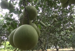 Bản tin NLĐ ngày 27-12: Nhiều loại trái cây mất mùa, khan hiếm hàng