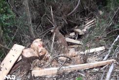 Phóng sự: Rừng Pơ mu 100 tuổi ở Quảng Nam tan hoang…
