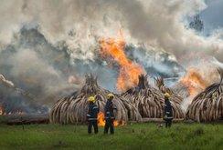 Kenya đốt ngà voi, sừng tê giác trị giá 172 triệu USD