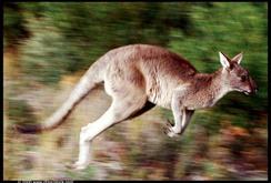 Bản tin NLĐ ngày 28-1: Úc phá âm mưu đánh bom tự sát bằng Kangaroo