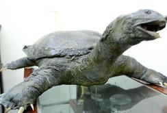 Bảo quản xác rùa Hồ Gươm theo phương pháp nhựa hóa hiện đại