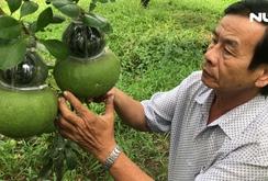 6.000 trái bưởi hồ lô phục vụ Tết Mậu Tuất
