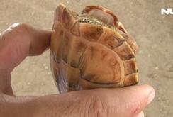 Người dân bắt được Rùa có màu vàng lạ ở Tân An