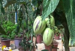 Độc đáo dưa Pepino Nam Mỹ chưng Tết