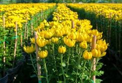 Bản tin NLĐ ngày 18-1-2017: Làng hoa Sa Đéc vào Tết