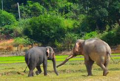 Bản tin NLĐ ngày 30-8: 30 năm, mới có voi nhà ở Đắk Lắk mang bầu