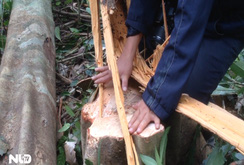 """Phú Yên: Dự án nuôi bò """"nuốt"""" hàng trăm hecta rừng"""