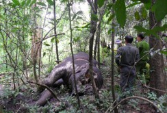 Bản tin NLĐ ngày 23-3: Đắk Lắk khuyến cáo người dân không sát hại voi rừng