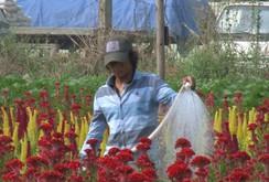 Ghi nhanh: Làng hoa ven Sài Gòn vào vụ Tết