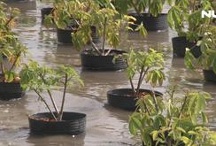 Vựa hoa Tết lớn nhất ĐBSCL đang bị nước lũ đe dọa