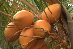 Ghi nhanh: Độc đáo vườn dừa hai màu vàng cam tại TP HCM