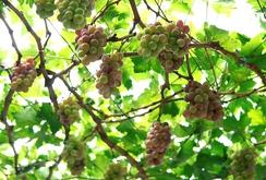 Ghi nhanh: Vườn nho chín mọng, trĩu quả tại TP HCM