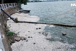 Cá lại chết hàng loạt ở Hồ Tây