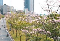 Ghi nhanh: Ngẩn ngơ với mùa hoa kèn hồng giữa lòng thành phố