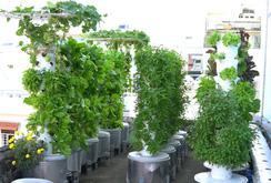 Ghi nhanh: Độc đáo mô hình trồng rau khí canh trên sân thượng