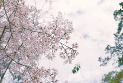 Ghi nhanh: Đà Lạt đẹp như tranh vẽ giữa mùa mai anh đào