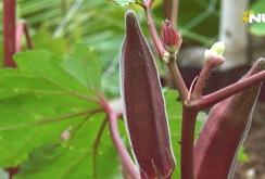 Phóng sự: Na tím, đậu bắp tím lạ mắt phục vụ mùa Tết