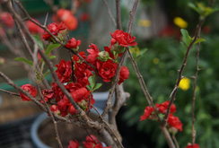 Ghi nhanh: Độc đáo hoa mai đỏ