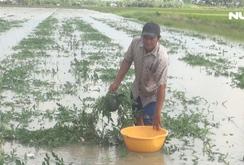Nông dân ngậm ngùi nhìn ruộng dưa hấu Tết bị chìm sau bão số 1